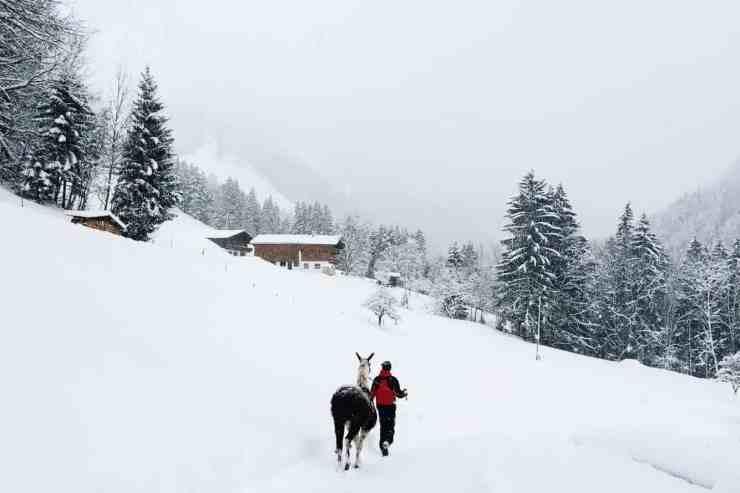 Llama trekking in Tirol, Austria. Winter in Austria