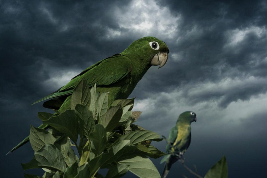 pericos en la tormenta