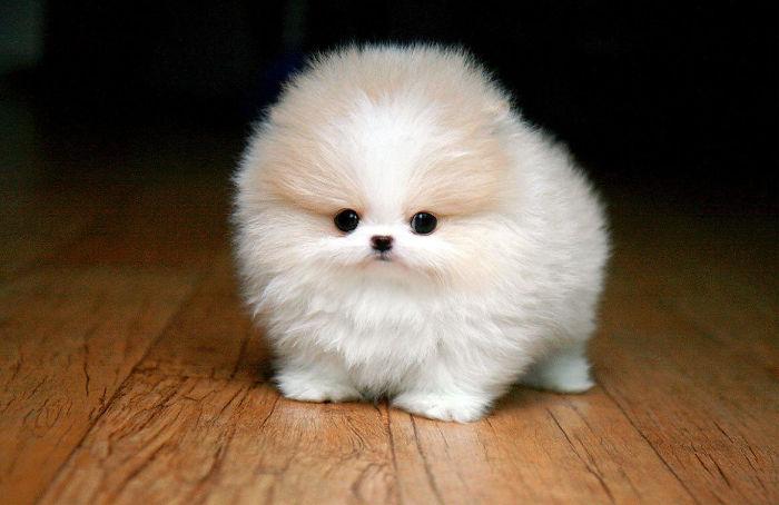 Teacup Pomeranian