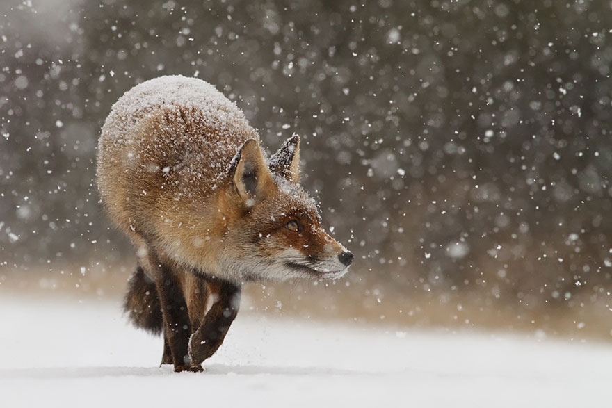 foxes-roeselien-raimond-17