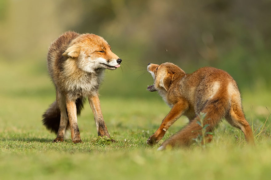foxes-roeselien-raimond-8