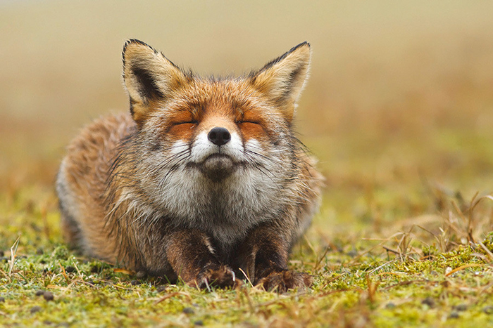 Stunning Wild Fox Photography By Roeselien Raimond