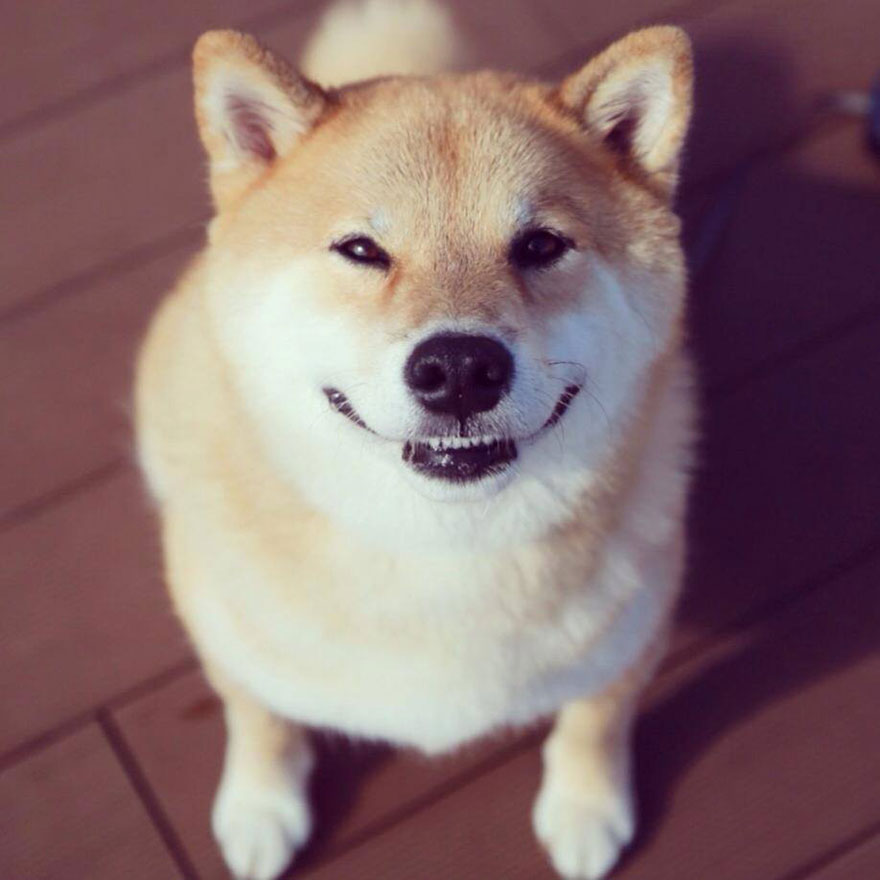 happy-dog-maru-shiba-inu-11