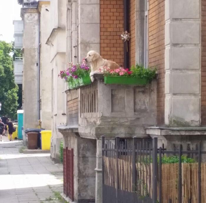 Ce Golden Retriever à Gdansk, en Pologne, est devenu une attraction locale pour les touristes