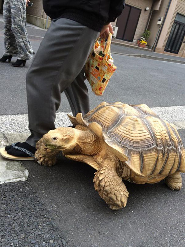 anciano-paseando-tortuga-sulcata-tokio-japon (1)