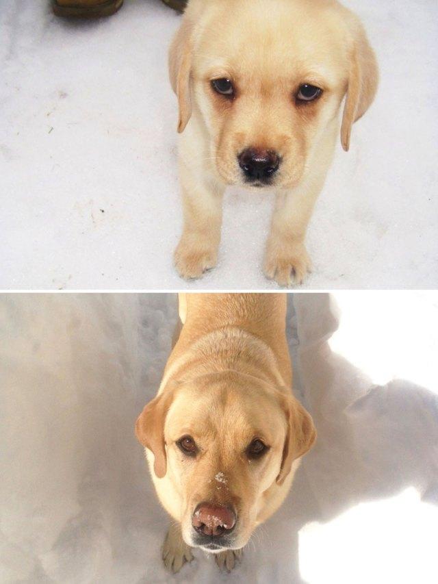 antes-despues-perros-creciendo (18)