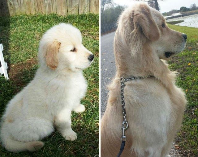 antes-despues-perros-creciendo (22)