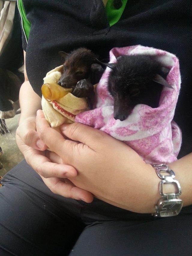 crias-adorables-hospital-de-murcielagos-australia (1)