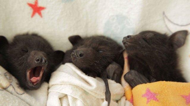 crias-adorables-hospital-de-murcielagos-australia (9)