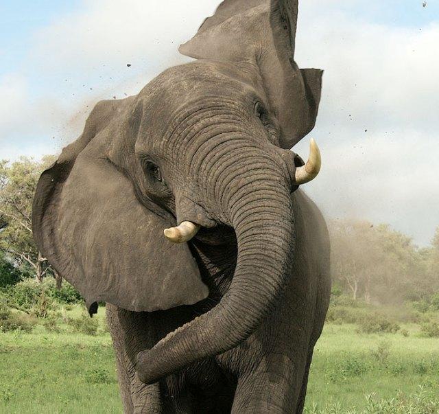 elefante-mata-cazador-ian-gibson (1)