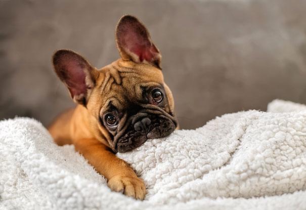 fotos-cachorros-bulldog (1)