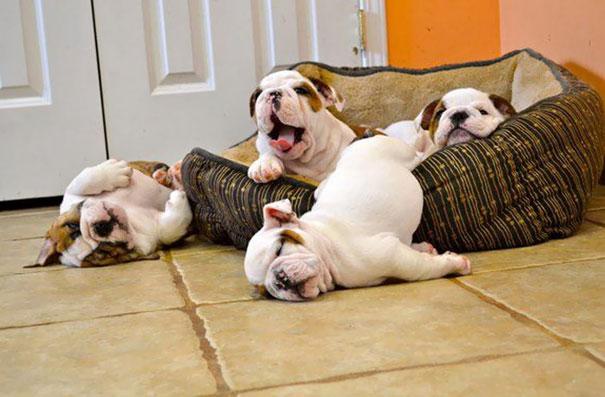fotos-cachorros-bulldog (5)