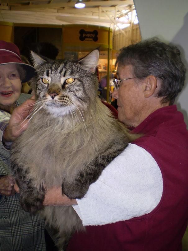 gatos-enormes (8)