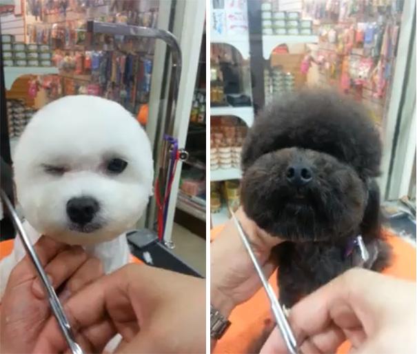 perros-corte-pelo-redondo-cuadrado-taiwan (2)