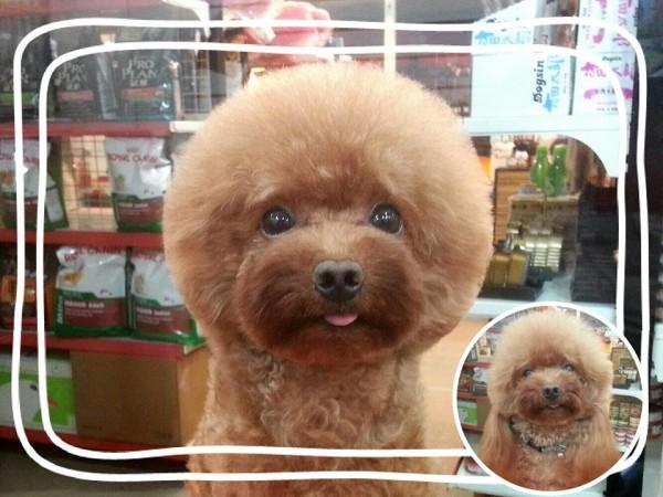 perros-corte-pelo-redondo-cuadrado-taiwan (7)