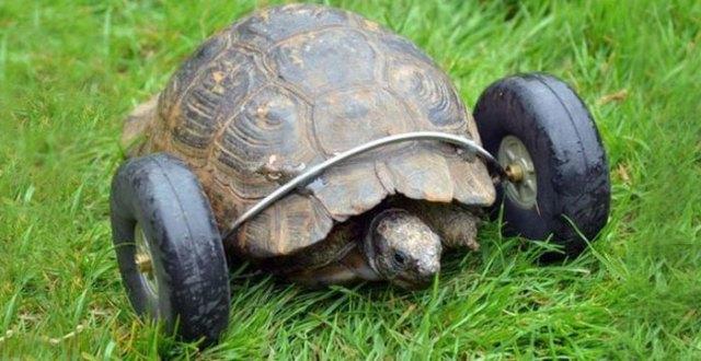 tortuga-90-anos-patas-devoradas-ruedas-gales (2)