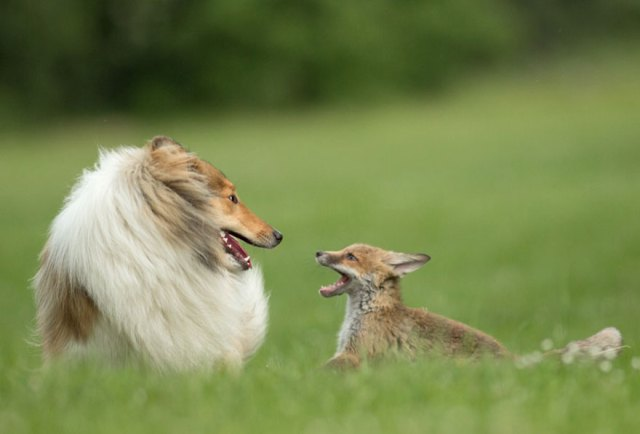 cria-zorro-huerfano-dinozzo-adoptado-perro-ziva (10)