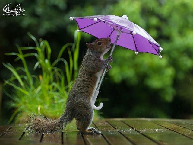 fotos-ardilla-paraguas-lluvia-max-ellis (1)