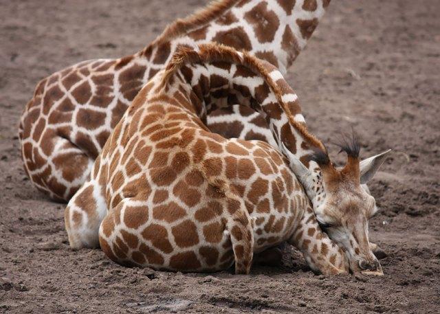 jirafas-durmiendo (9)