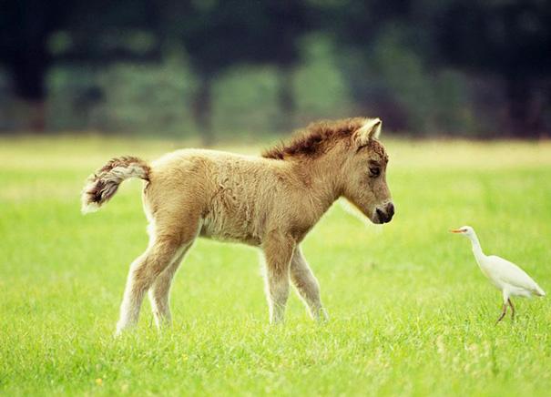 mini-caballos (11)