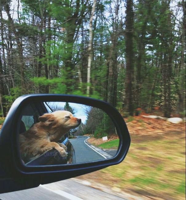 perros-disfrutando-viaje-coche (13)