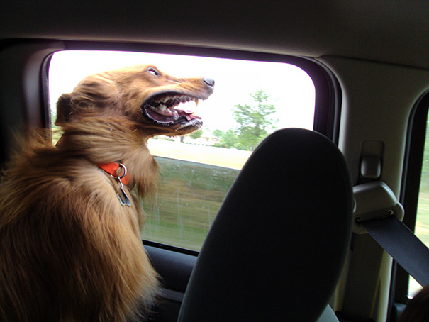 perros-disfrutando-viaje-coche (14)