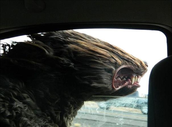 perros-disfrutando-viaje-coche (16)