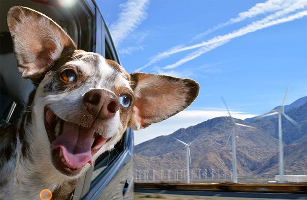 perros-disfrutando-viaje-coche (3)