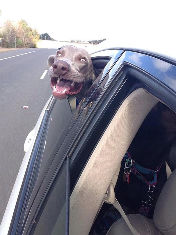 perros-disfrutando-viaje-coche (7)