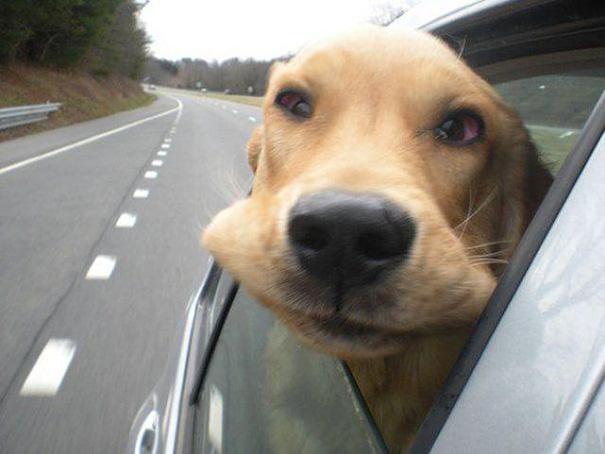 perros-disfrutando-viaje-coche (9)