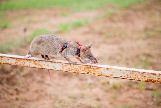 ratas-heroicas-detectoras-minas-apopo-africa (10)