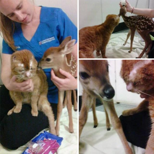 russel-gato-superviviente-cuida-animales-hospital (15)