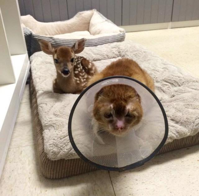 russel-gato-superviviente-cuida-animales-hospital (7)