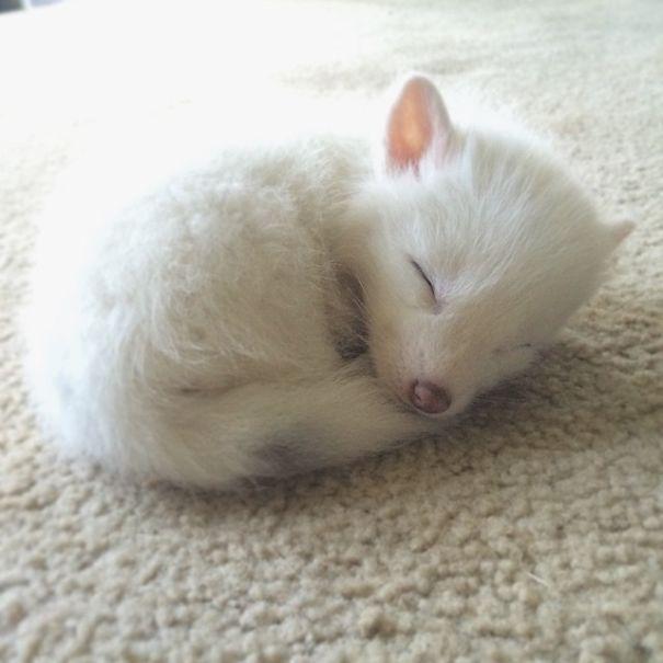 rylai-zorro-rojo-siberiano-domesticado-mascota (2)