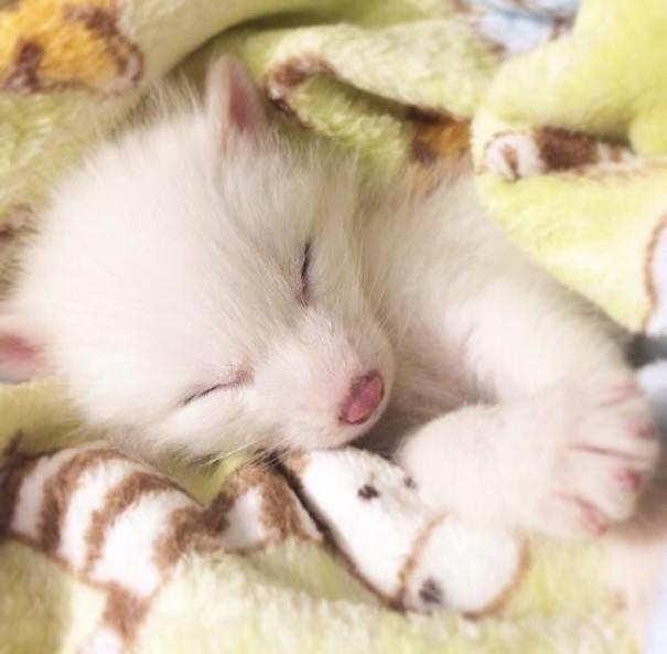 rylai-zorro-rojo-siberiano-domesticado-mascota (6)