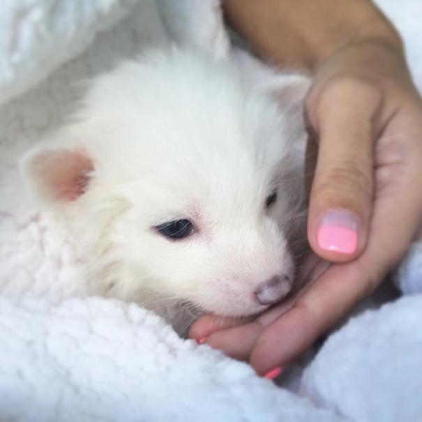 rylai-zorro-rojo-siberiano-domesticado-mascota (7)