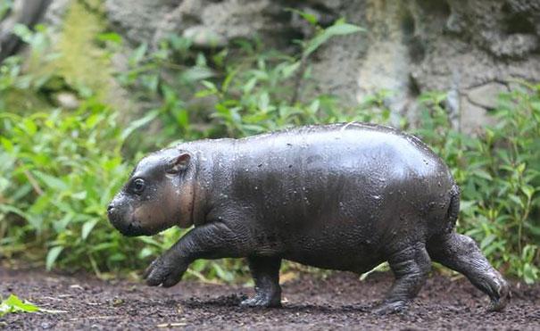 cria-hipopotamo-pigmeo-obi-zoo-melbourne (5)