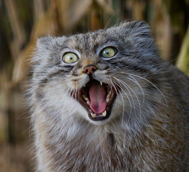 gato-pallas-manul (15)