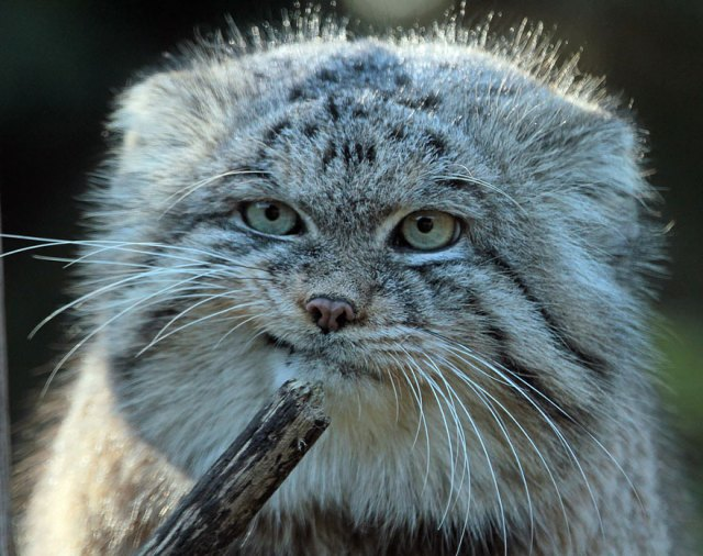 gato-pallas-manul (8)