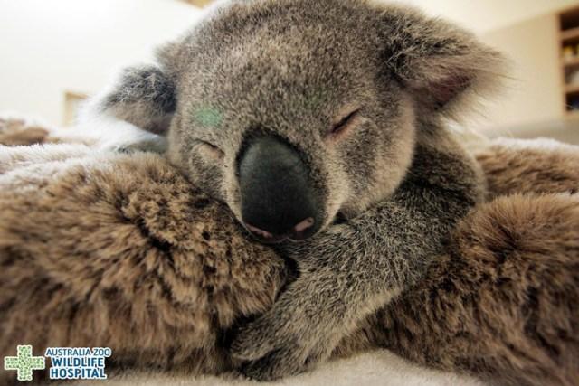 madre-koala-operacion-cria-zoo-australia (3)