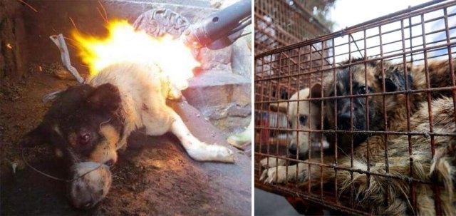 perros-rescatados-festival-yulin-china (22)