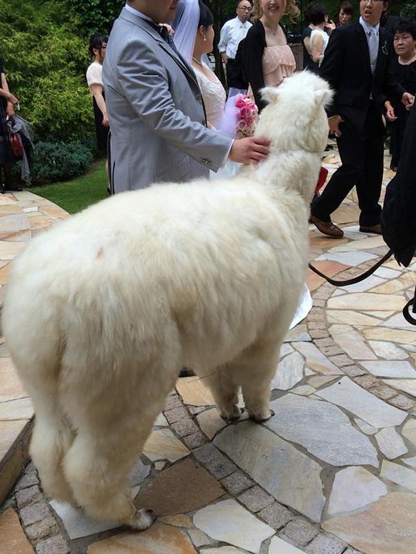 alpaca-testigo-boda-epinard-nasu-japon (5)