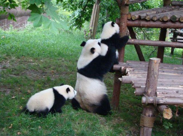 base-investigacion-chengdu-guarderia-osos-panda (10)