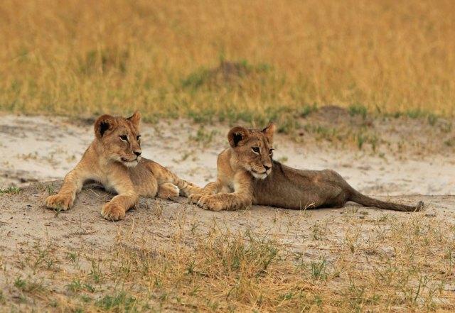 caza-ilegal-cecil-leon-zimbabue-walter-palmer (1)