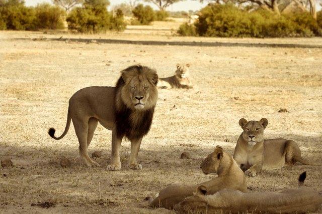 caza-ilegal-cecil-leon-zimbabue-walter-palmer (2)