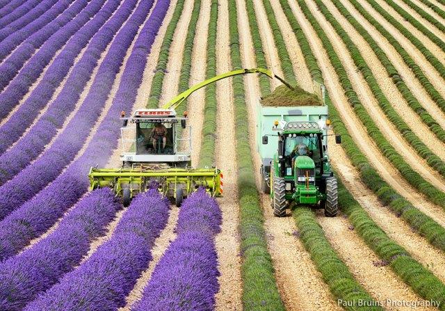 cosecha-campos-lavanda (1)