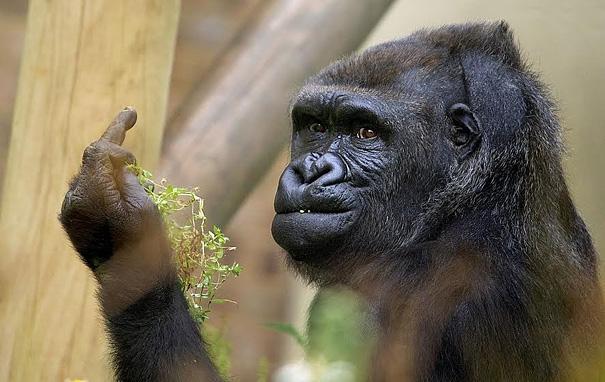 gorila-haciendo-peineta-bob-pitchford-zoo-bristol (2)