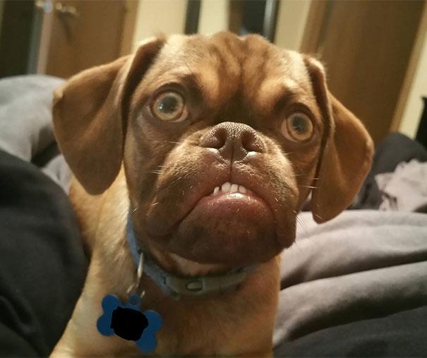 perro-grunon-earl-puggle-meme (1)