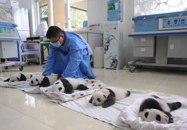 aparicion-publica-oseznos-panda-yaan-china (14)