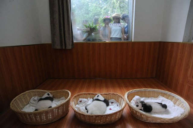 aparicion-publica-oseznos-panda-yaan-china (2)